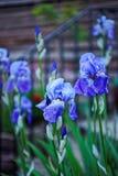 Fiore di fioritura di Cornflag in segnali di Brecon in Galles del sud immagine stock libera da diritti