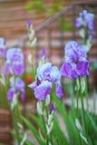 Fiore di fioritura di Cornflag in segnali di Brecon in Galles del sud Regno Unito fotografie stock libere da diritti