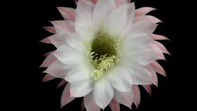 Fiore di fioritura del cactus archivi video