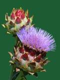 Fiore di fioritura del carciofo Fotografia Stock