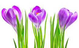 Fiore di fioritura del croco della sorgente immagini stock libere da diritti