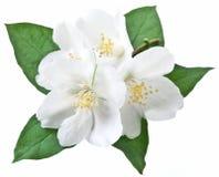 Fiore di fioritura del gelsomino con le foglie Fotografie Stock Libere da Diritti