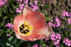 Fiore di fioritura delicatamente rosa del tulipano con i petali aperti fra i piccoli fiori porpora immagini stock libere da diritti