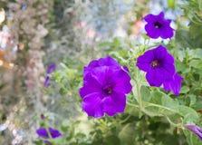 Fiore di fioritura delle petunie Fotografia Stock Libera da Diritti