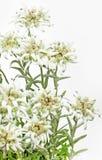 Fiore di fioritura di Edelweiss su bianco Fotografia Stock Libera da Diritti
