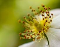 Fiore di fioritura a macroistruzione Fotografie Stock Libere da Diritti