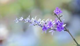 Fiore di fioritura porpora dell'albicocca Fotografie Stock Libere da Diritti