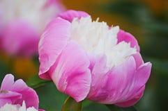 Fiore di fioritura rosa della peonia sui precedenti scuri Fotografia Stock Libera da Diritti