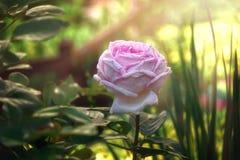 Fiore di fioritura rosa luminoso Splendido è aumentato Immagini Stock