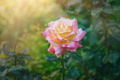 Fiore di fioritura rosa luminoso Splendido è aumentato Fotografie Stock Libere da Diritti