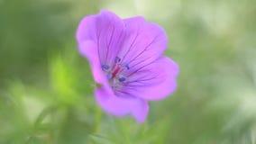Fiore di Forest Geranium, fine su Fuoco selettivo stock footage