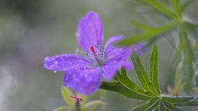 Fiore di Forest Geranium, fine su Fuoco selettivo archivi video