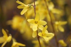 Fiore di forsythia Immagini Stock Libere da Diritti