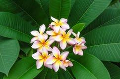 Fiore di Frangiapani. Illustrazione di Stock