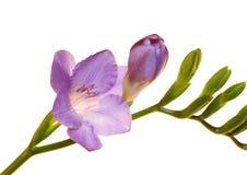 Fiore di Freesia isolato su bianco Fotografia Stock