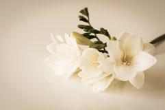 Fiore di fresia Fotografia Stock