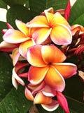 Fiore di frungipani di stile di vita del giardino floreale per l'affare della stazione termale Immagine Stock