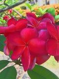 Fiore di Frungipani per il progetto di affari della stazione termale Fotografia Stock