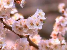 Fiore di fuga di sibirica di Armeniaca (L.) Immagini Stock