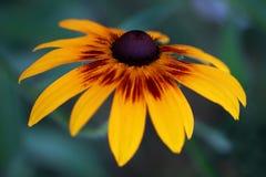 Fiore di fulgida di Rudbeckia Immagini Stock