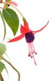 Fiore di Fuschia Fotografia Stock Libera da Diritti