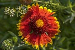 Fiore di Gaillardia fotografie stock