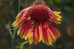 Fiore di Gaillardia fotografia stock libera da diritti