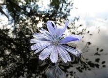 Fiore di galleggiamento Fotografie Stock Libere da Diritti
