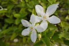 Fiore di gardenia Fotografie Stock