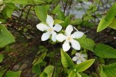 Fiore di gardenia Fotografia Stock Libera da Diritti