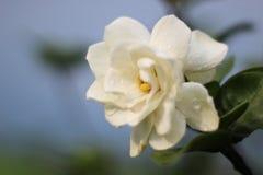 Fiore di gardenia fotografia stock