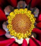 Fiore di Gazania Immagini Stock