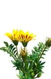 Fiore di gazania dell'isolato su un fondo bianco Fotografia Stock
