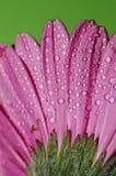 Fiore di Germini Immagini Stock