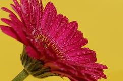 Fiore di Germini Fotografia Stock