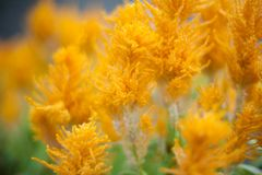 Fiore di giallo arancio con un fondo vago Fotografia Stock Libera da Diritti