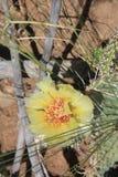 Fiore di giallo del fico d'india Immagini Stock Libere da Diritti