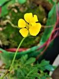 Fiore di giallo del tagete francese Immagine Stock