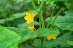 Fiore di giallo della pianta del cetriolo Fotografie Stock