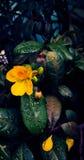 Fiore di giallo della pianta di fortuna dell'albero dei soldi Fotografia Stock