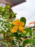 Fiore di giallo della pianta di fortuna dell'albero dei soldi immagini stock libere da diritti