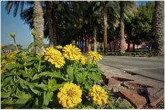 Fiore di giallo di Zinia Fotografia Stock Libera da Diritti