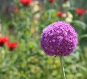 Fiore di Giganteum dell'allium Fotografie Stock Libere da Diritti