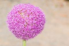 Fiore di Giganteum dell'allium che fiorisce nel Giappone Fotografia Stock