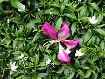 Fiore di girandola porpora del nano e di Bauhinia Fotografie Stock