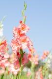 Fiore di gladiolo Fotografia Stock Libera da Diritti