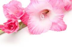 Fiore di gladiolo Fotografia Stock