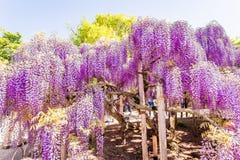 Fiore di glicine Immagine Stock