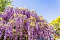 Fiore di glicine immagini stock