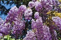 Fiore di glicine fotografia stock